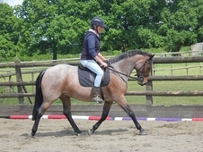 Potential Alrounder/Hunting Pony