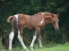 homebred colt foal 15hh ( gelded)