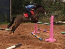 Fabulous 13. 2 hh for sale