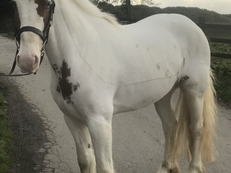 SAFE AND SENSIBLE  15HH IRISH DRAUGHT X COB GELDING FARTHER TED