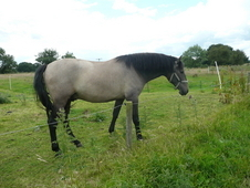 British bred Andalusian Pre Gelding