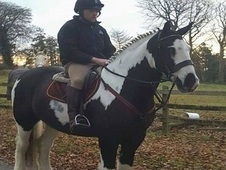 ***SOLD TO UK***15. 3hh Bombproof Hunter/Hack Cob Gelding