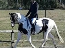 15. 3hh Warmblood mare
