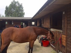 14.2hh All rounder/Pony Club Gelding