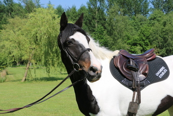 Safe & Kind 15.1hh 9 yrs Chaps Piebald Mare