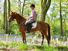 Stunning all round chestnut gelding