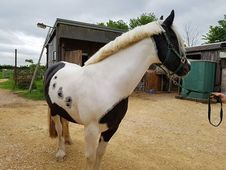 Kiwi Piebald Gelding for Loan