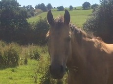 Buckskin filly to make 15.3hh