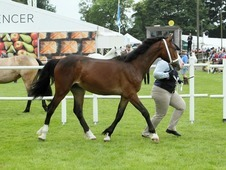 Welsh Section D Yearling for sale