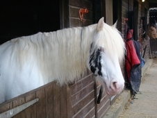 Welsh 13. 3 piebald mare 11 years old