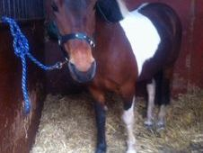14. 1 Irish sport pony 14. 1 HH 12 year old skewbald Irish Sports...