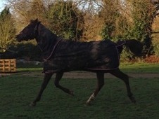 Flashy 16.1h TB Mare - Would make excellent Allrounder!