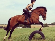 14. 2 Welsh D. Beautiful and Kind Mare. Ideal Pony Club or 2nd Pony