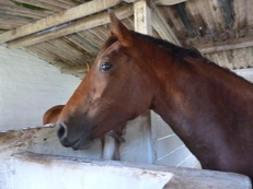 KATYANNE 2YRS FILLY