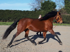 Stunning Bay Pre Mare