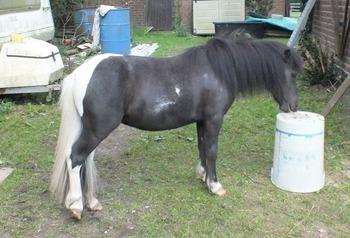 Miniatures for Sale | Horsemart