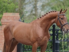 Exquisite 16. 1 Chestnut Warmblood Gelding