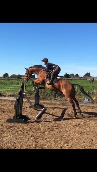 16hh event/ showjumping Gelding