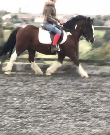 12.2 cob/native 5 year old gelding