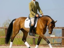 Fine Eventer Competition Horse