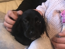 Cocker Spaniel puppy's ready now based in Maidstone