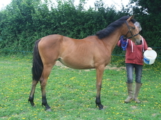 Connemara x thoroughbred filly yearling
