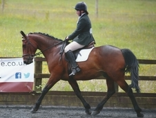 Handsome 15. 2 hh 9 year old Bay gelding
