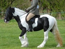 13. 1 traditional coloured mare