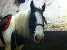 Beautiful natured cob for sale