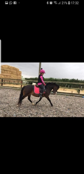 Millie 12hh welsh section a 12 years old