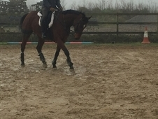 Smart Looking Mare 15. 2hh WB x TB