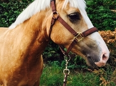 Fun loving 14.1 5 year old palomino Welsh section D