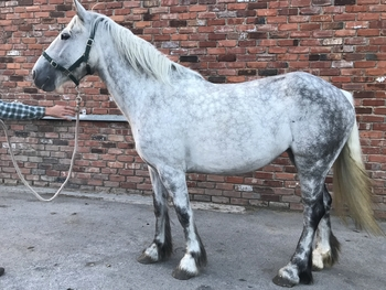 15.2 Dapple Grey Mare Irish Draught x Connemara 4 Year old