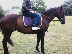 15.1 Thoroughbred Gelding