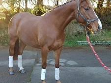 ***SOLD TO UK***IROKO 8yr Old Mare - Massive Potential
