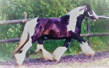 Childs Dream - Top quality traditional cob