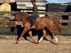 14.2hh All-Rounder Pony For Sale