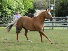 Palomino quarter horse gelding for loan