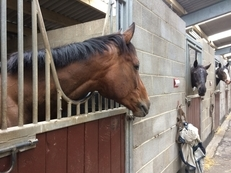 Sharer for 16.2 six year thoroughbred gelding