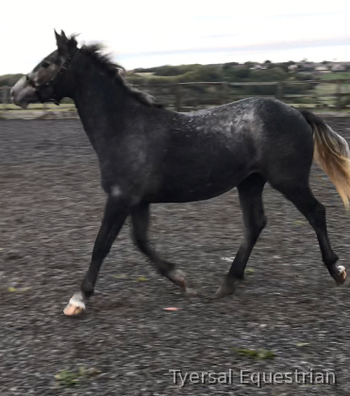 Fabulous rising 2yr old Full Registered Irish Draught Filly