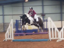 15. 3/16HH 8yr old COLOURED GELDING