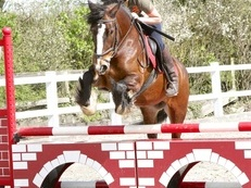 Very Kind 14:3hh, 8yr old, Family Allrounder