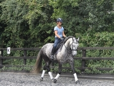 15. 2hh Quality Partbred 8 year old Spanish Grey Gelding