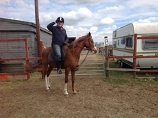 Stunning part Arab chestnut gelding