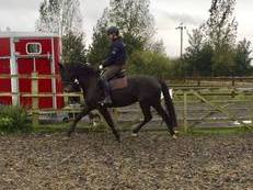 Talented 15.3hh four year old Knabstrupper mare