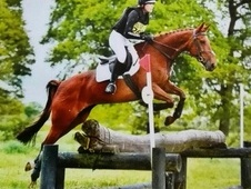 16hh 7yr old extremely talented thoroughbred mare