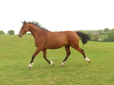 RENKUM STUD - SPORT HORSE FOR SALE *Reduced for quick sale*