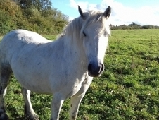 -Registered fell mare