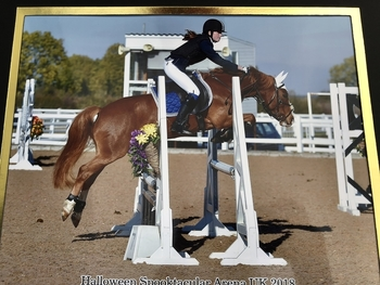 13.2 section C gelding 12 years old