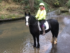 Striking 14. 1hh Black Cob Mare REDUCED